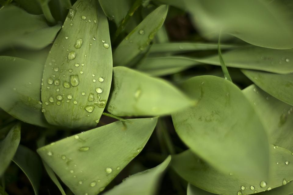 Dew rests on broad leaves. Photo by: AJ Chavar
